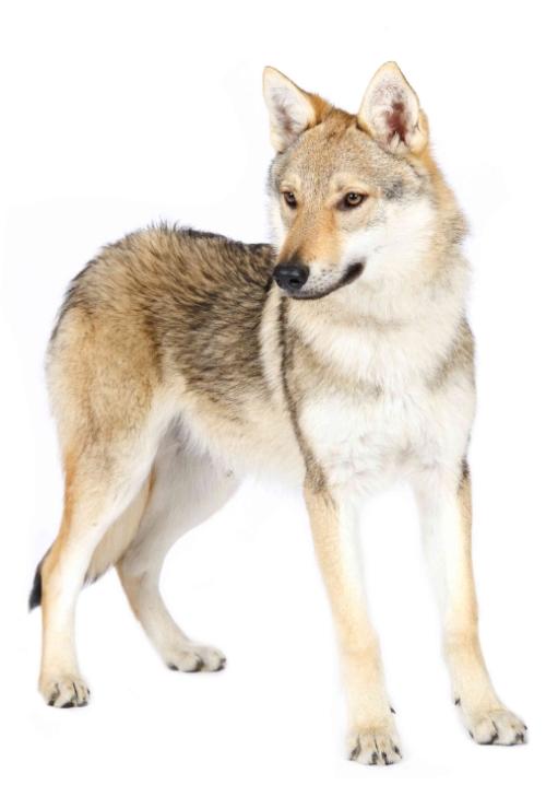 chien myélopathie dégénérative